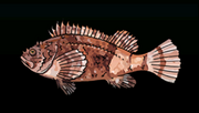 SpottedScorpionFishACP