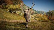 ACOd-deer2