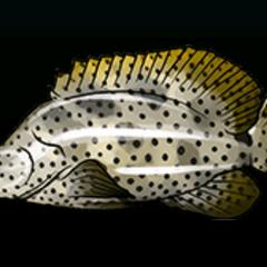 驼背鲈 - 稀有度:普通,尺寸:中