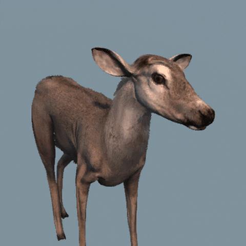 一直雌性白尾鹿