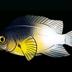 双色雀鲷 - 稀有度:稀有,尺寸:中