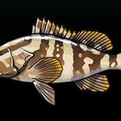 拿索石斑鱼 - 稀有度:稀有,尺寸:中