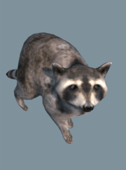 DB Raccoon