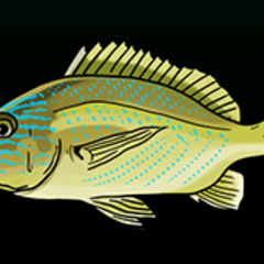 蓝纹石鲈 - 稀有度:普通,尺寸:小