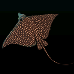 White-spotted Eagle Ray - Rarity: Very Rare, Size: Large