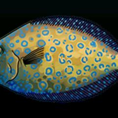 Peacock Flounder - 稀有度:稀有,尺寸:中