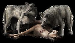 ACIII Loups