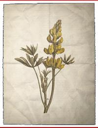 ACS Lupin jaune BDA