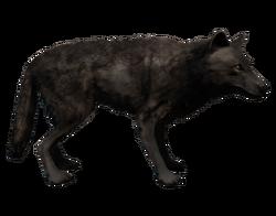 ACRO Loup noir