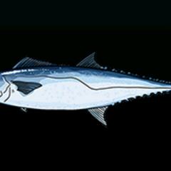 大耳马鲛 - 稀有度:普通,尺寸:大