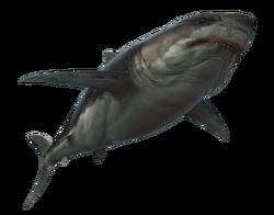 ACRO Grand requin blanc