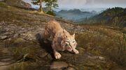 ACOd-lynx-aggro