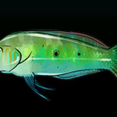 绿剃刀鱼 - 稀有度:普通,尺寸:小