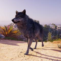 <b>Loup gris</b> en Grèce