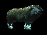 Cochon sauvage