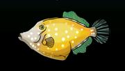 White-SpottedFilefishACP
