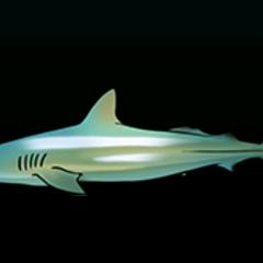 Dusky Shark - 稀有度:非常稀有,尺寸:大