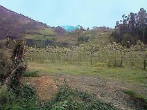 Plantación de kiwis-Trubia