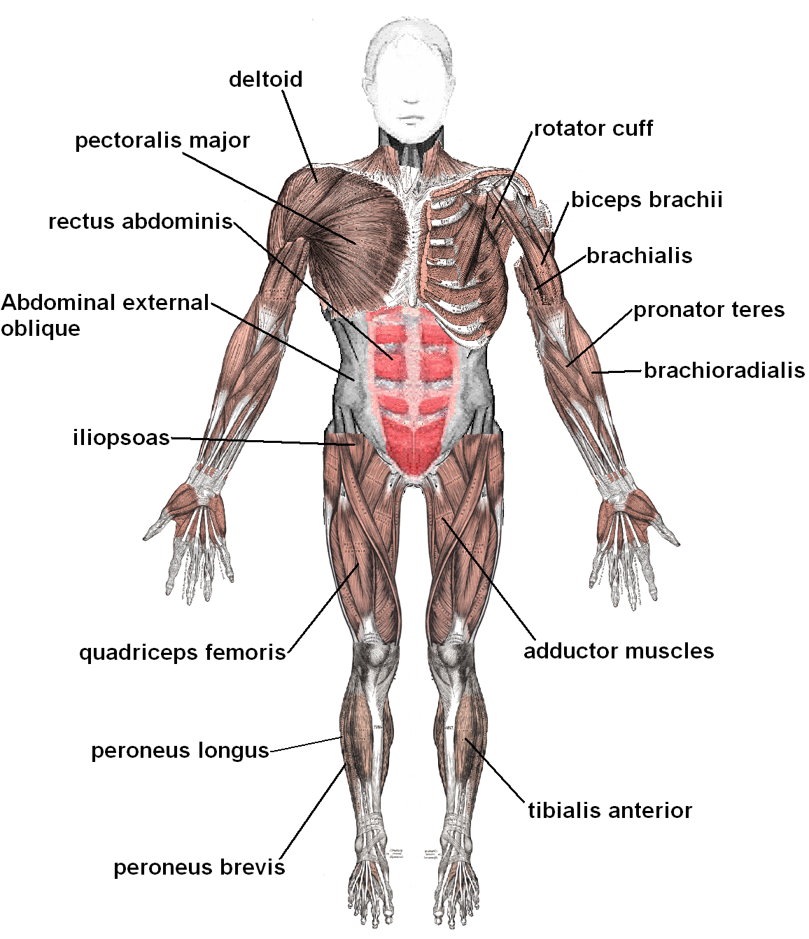 Muscular System | Athlepedia, The Athletics Wiki | FANDOM powered by ...