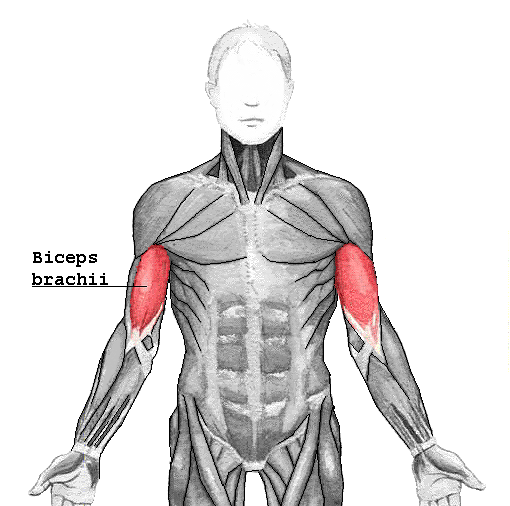 Image - Biceps brachii.png | Athlepedia, The Athletics Wiki | FANDOM ...