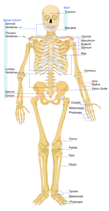 Skeletal System | Athlepedia, The Athletics Wiki | FANDOM powered by ...
