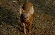 TSOTS Pig