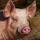 PigKrz