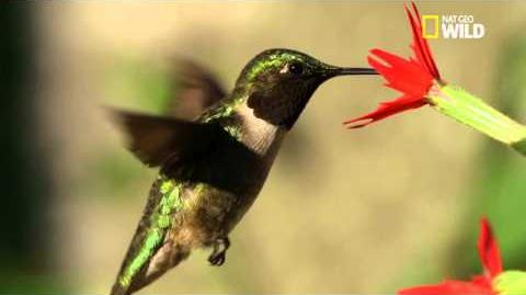 Le colibri à gorge rubis