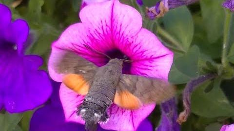 Superbe Papillon Colibri Sphinx