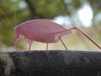 Pinkcatydid