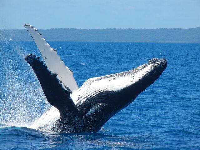 File:Spirit-of-hervey-bay-whale-watching-cruises-9455025.jpg