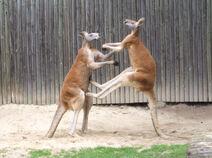- fighting red kangaroos 1