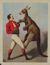 Kangaroo Boxing sideshow poster