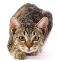 Feline Physiology