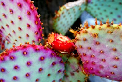 Pricklepear