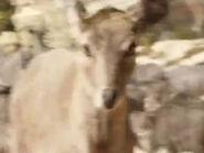 Sara Arrington as Neelgai Deer (Voice)