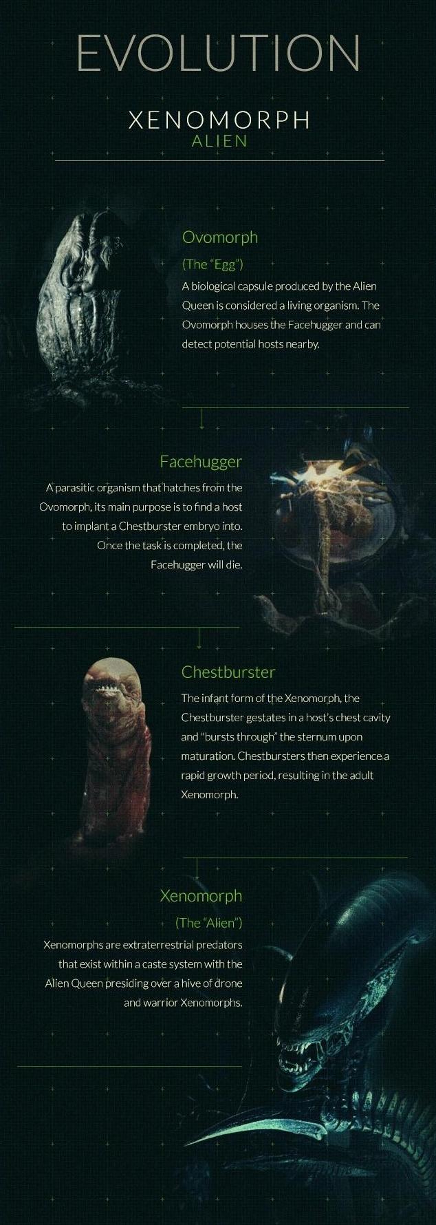 Xenomorph life cycle   Xenopedia   FANDOM powered by Wikia