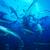Tiger shark elder 2
