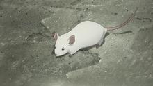 E16 Rodent