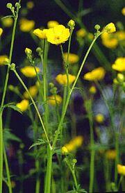 Ranunculus acris gr