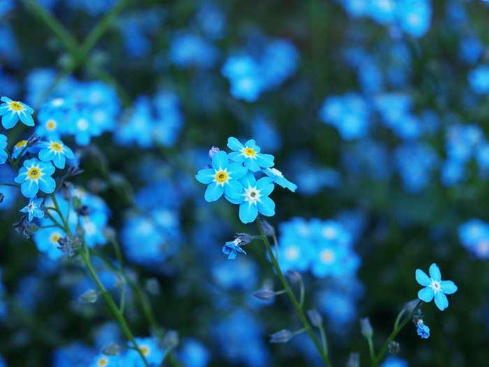 Blue Flowers Names 13 Jpg