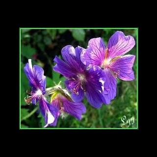 Le géranium violet, la fleur préférée d'Ashlyn