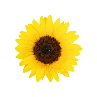 Le tourneso , la fleur préférée de Délia