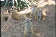Ten Little Meerkats