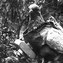 Camera Pigeon IRL
