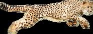 CheetahAnimalPose