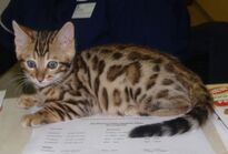 Clinicimage 322 600 bengal-kitten