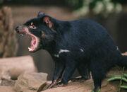 Tasmanian-devil-glutton