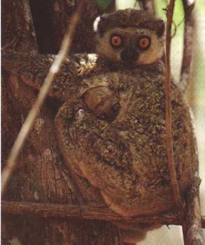 Moore's Woolly lemur