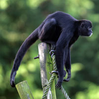 File:Spidermonkey.jpg